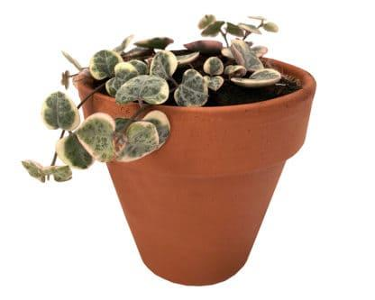 Image of Variegated String of Hearts in a clay pot
