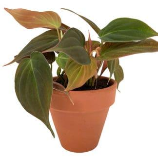 image of philodendron micans in a clay pot