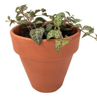 image of String of Spades (ceropegia woodii heartless) in a clay pot