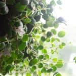 Photo of codonanthe plant for blog header