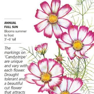 Candystripe Cosmos Seed packet