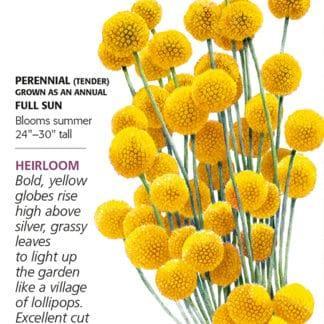Drumstick Flower Craspedia Seed Packet